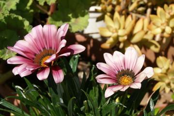 pink Gazania