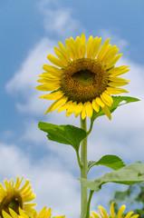 sunflower on clear sky