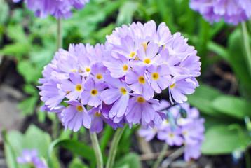 Lilac primrose Primula denticulata