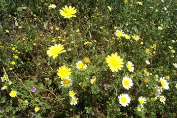 Chrysanthemum coronarium & Mediterranean wild flower