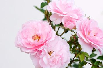 rose di Paola