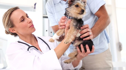 Vet checking a yorkshire terrier with its owner
