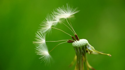 Remaining dandelion seeds