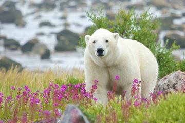 Curious Polar Bear closing in WB