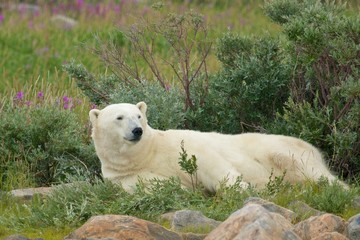 Lazy Polar Bear 1 WB
