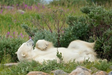 Polar Bear wallowing under a bush