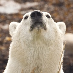 Sniffing Polar Bear Portrait