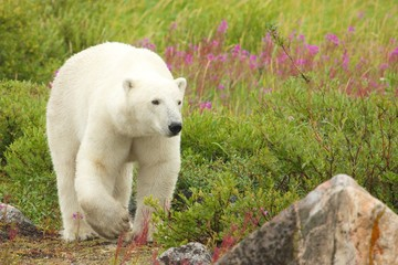 Polar Bear and Fire Weed 4