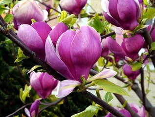 pretty flowers of magnolia tree