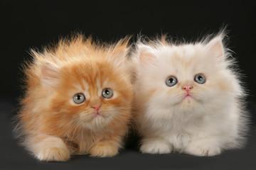 Zwei britisch Langhaar Kätzchen nebeneinander