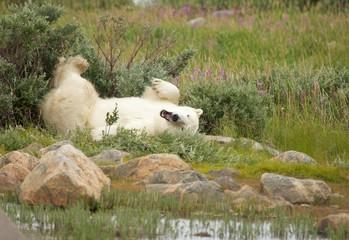 Wallowing Polar Bear 1