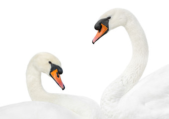 Two white swans in love– isolated