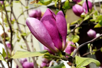 magnolia blossoming
