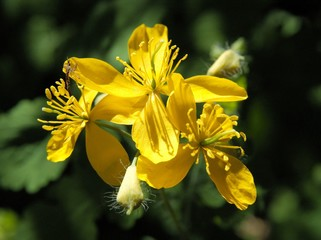 yellow flower of celandine herb