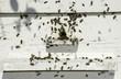 Obrazy na płótnie, fototapety, zdjęcia, fotoobrazy drukowane : Bees entering the hive