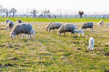 Schafe und Lämmer, Sheep and Lambs