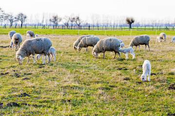 Schafe und Lämmer, Sheep and Lambs