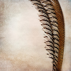 Vintage background with phesant feather
