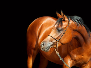 portrait of wonderful bay  arabian mare