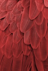Macaw Feathers (Red)