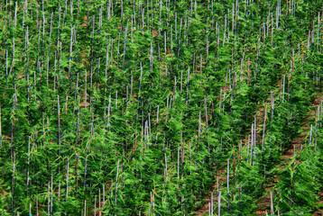 Coniferous trees growing in a plant nursery