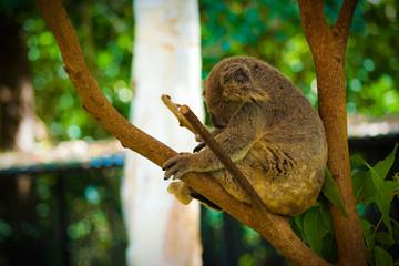 Sleeping Koala at Hartley's, Queensland, Australia