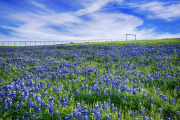 Texas Bluebonnet field in bloom