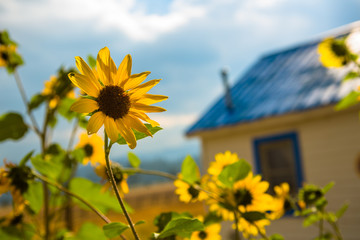 Sunflower in Front of Blue House