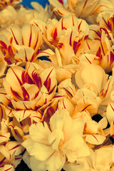 Creamy Yellow and Red Tulips