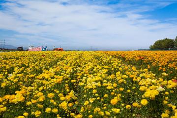 Flower Field - Carlsbad, California, USA