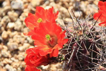 Scarlet Hedgehog Cactus Flower Blooming in the Springtime