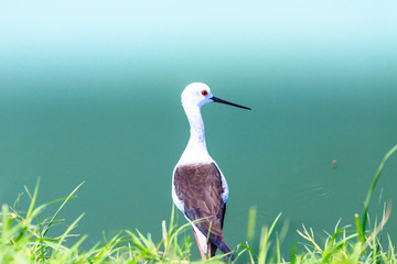 Black winged Stilt bird.
