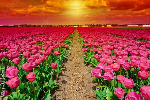 Fototapeta Dutch Tulips