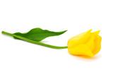 Fototapety Yellow tulips isolated