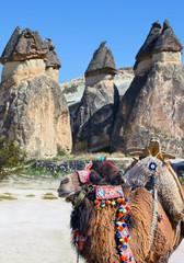 camel in Cappadocia, Turkey