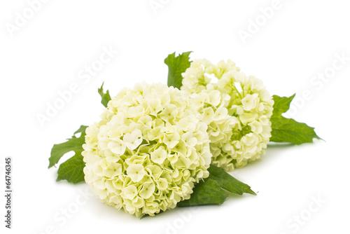 Spoed canvasdoek 2cm dik Hydrangea white hydrangea