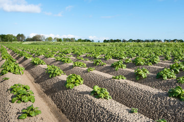 Young and fresh green potato plants close