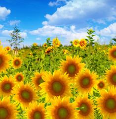 Sonnenblumenfeld vor blauem Himmel