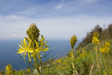 Yellow flower on the promontory of Circeo, Italy.