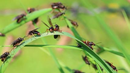 Fliegende Ameisen - Geschlechtsreife Ameisen
