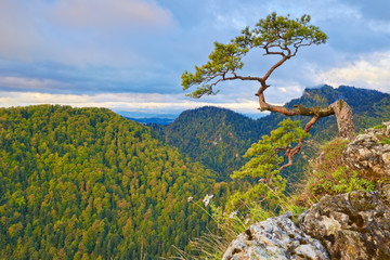 Relic pine at top of The Sokolica Mountain. The Pieniny, Poland