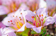 Fleur islandais