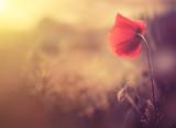 Fototapety wild poppy flower