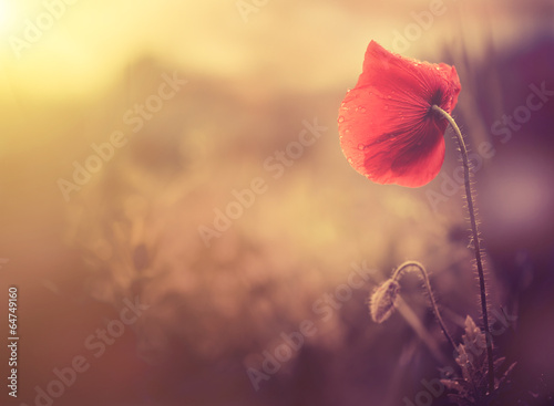 wild poppy flower - 64749160