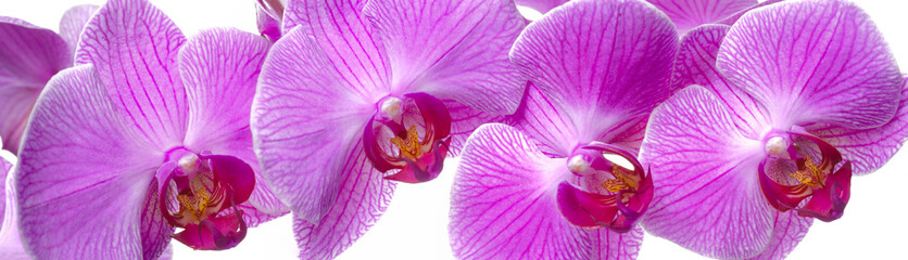 panorama of orchid flower