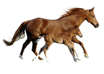 foal and mare in perfect simultanously gallop
