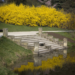 Blooming forsythia on a pond in a park