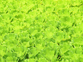 Green background of water hyacinth