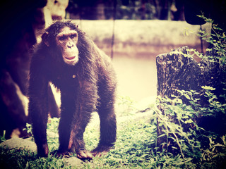 chimpanzee monkey in open zoo
