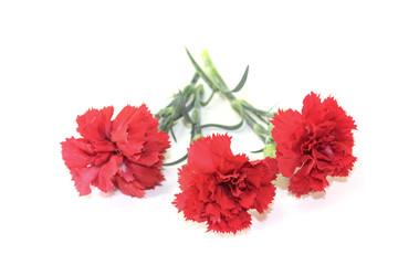 rote Nelkenblüten